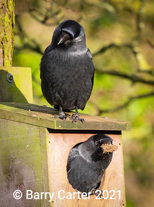 Jackdaw Pair Cleaning Nest Site