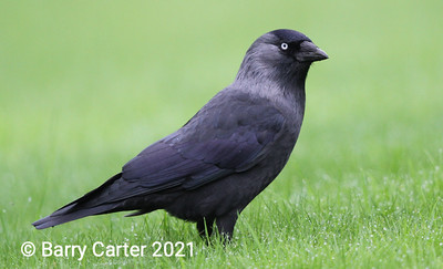 Jackdaw Right Hand Side