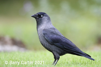 Jackdaw Left Hand Side
