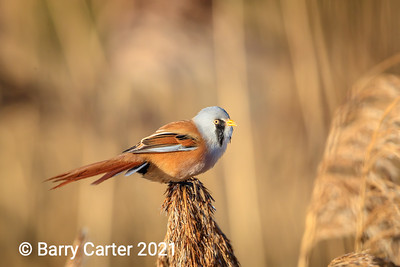 Bearded Tit Eating Reed Seed