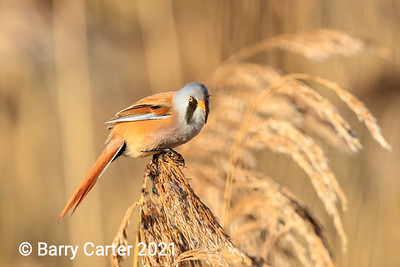 Bearded Tit on top of Reeds