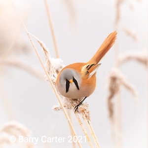 Bearded Tit in February