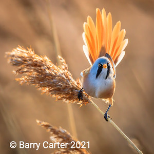 Bearded Tit with Backlight