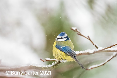 Blue Tit in the Snow