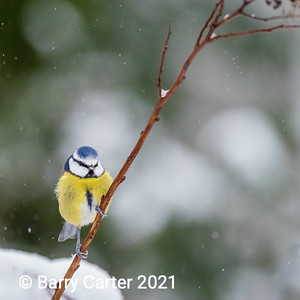 Blue Tit observing the weather