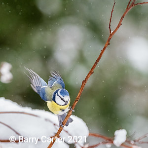 Blue Tit Ready for Take Off