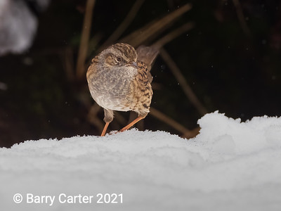 Dunnock out of the Shadows