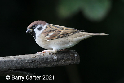 Tree Sparrow Against Dark Background