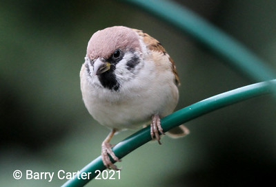 Tree Sparrow Head On
