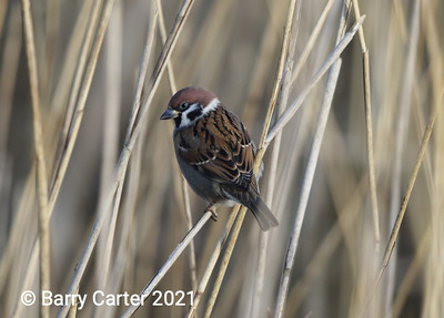 Tree Sparrow on Reeds