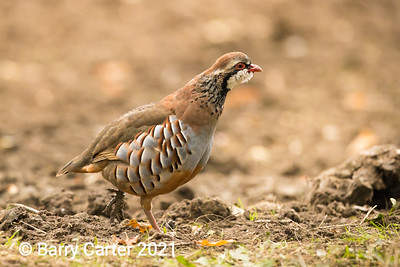 Red Legged Partridge and Muddy Foot