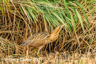 Bittern Sneaking Off