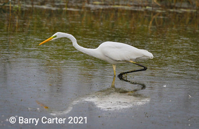 Herons, Egrets and Bitterns