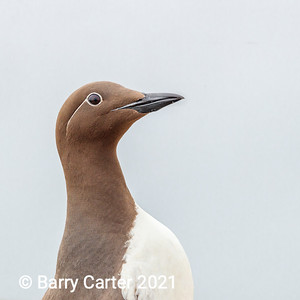 Guillemot with New Glasses