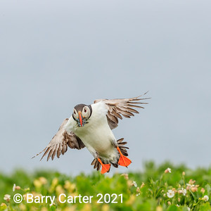 Puffin in Blustery Day
