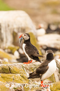 Puffin lost its bearings