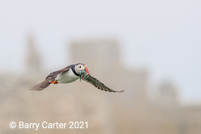 Puffin Over Farne Building