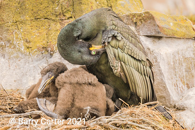 A Shag Preening with Young