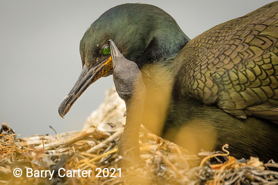 Shag with Young Chick