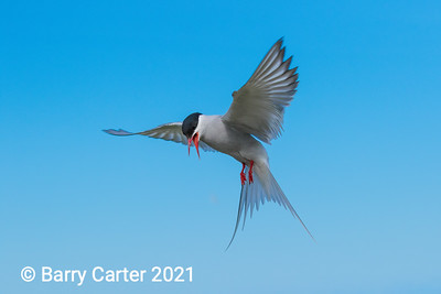 Arctic Tern on Blue Sky