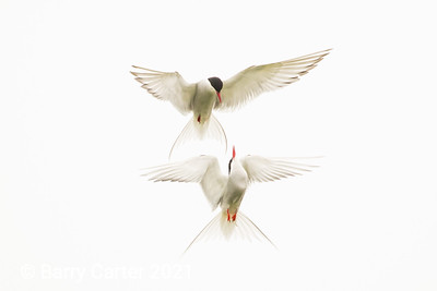 High Key Arctic Terns Sterna Paradisaea