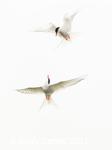 Arctic Terns High Key Skydance