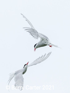 Arctic Terns Performing