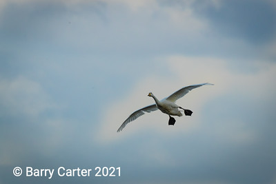 Whooper Swan Permission to land