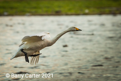 Whooper Swan just ready to land