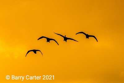 Whooper Swans in Golden Light