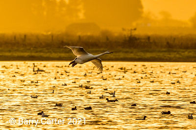 Whooper Swan landing at Sunset