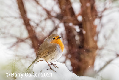 Robin as the snow begins