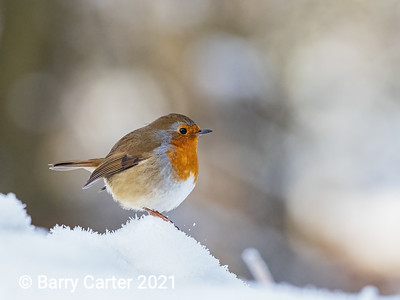 Robin on the Lookout in a Harsh Winter