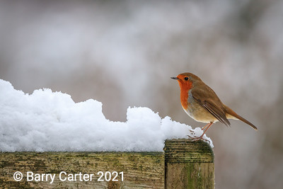 Robin Inspecting the Territory