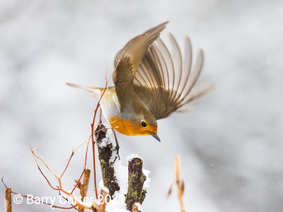 Robin Flying off