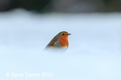 Robin in Fresh Snow