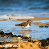 Turnstone on the Hunt