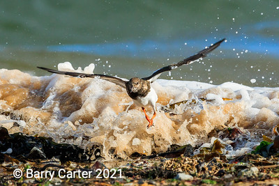 Turnstone Skipping Waves