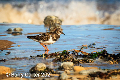 Turnstone Food Searching