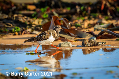Turnstone in a Hurry