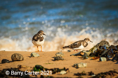 Turnstones in Autumn