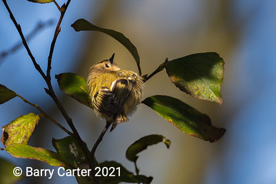 Goldcrest in a Ray of Sun