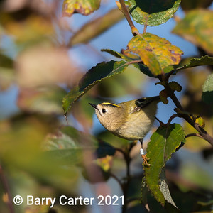 A Rnged Goldcrest