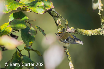Hungry Goldcrest