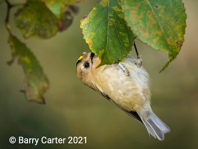 Goldcrest Hanging Around