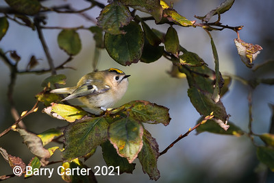 Goldcrest on migration