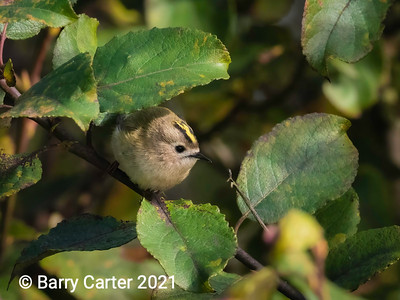 Goldcrest Hunting