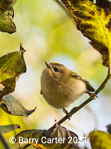 Goldcrest in Autumn