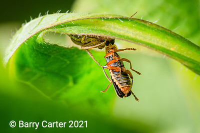 Crab Spider and Soldier Beetle