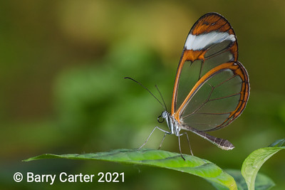 Glasswing Greta Oto